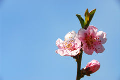 Peach blooms stock photos