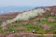 Peach blossom . In spring, the peach trees in the fields and moutains are in full bloom. The tourists are walking in a winding mountain path stock photos