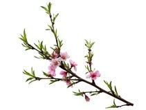 Free Peach Blossom Royalty Free Stock Photography - 117980557