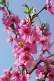 Peach Blossom. Over blue sky Royalty Free Stock Photography