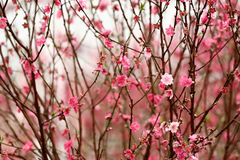 Peach blossom. Chinese new year decoration flower-peach blossom Royalty Free Stock Image