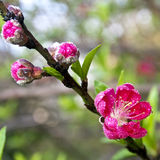 Peach blossom Royalty Free Stock Photography