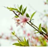 Peach blossom royalty free stock photography