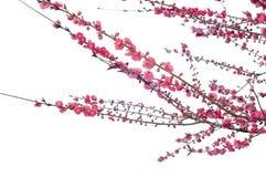 Peach Blossom Stock Images