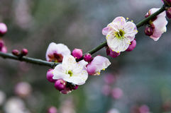 Peach blossom. In the spring it's beautiful Stock Image