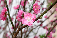 Peach blossom Royalty Free Stock Image