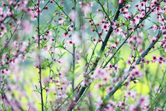 Peach blossom. Is in full bloom peach blossom in spring royalty free stock photos