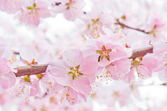 Peach blossom. In spring time Royalty Free Stock Images
