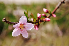 Peach blossom. Spring peach tree blossom in april Stock Images