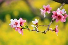 Peach blossom. A branch of peach blossom in spring Stock Photos