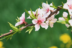 Peach blossom. A branch of peach blossoms on green background royalty free stock photos