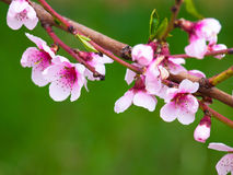 Free Peach Blossom Stock Photo - 29406960