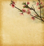 Peach in blossom Royalty Free Stock Photography