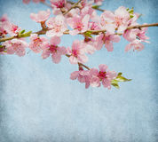 Peach  in blossom Stock Image