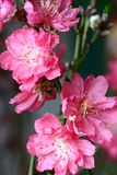 Peach blossom stock photography