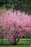 Peach blossom. In spring. the tree was full of pink flowers Stock Images