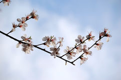 Peach blossom. A branch of peach flowers blooming, sky and clouds as background Royalty Free Stock Image