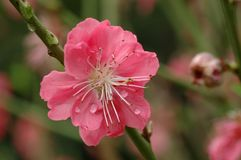 Peach blossom. In spring with pure background Royalty Free Stock Photos