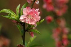 Peach blossom. In spring with colorful background Royalty Free Stock Photo