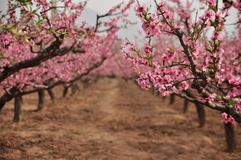 The peach blossom Royalty Free Stock Images