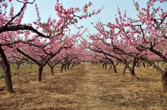 The peach blossom. The peach garden Stock Image
