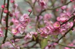 Peach blossom. Spring in the park pink peach blossoms Stock Image