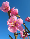 Peach blossom. In the Spring, peach blossoms and buds Stock Photos