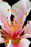 Peach blossom. First peach blossom is blooming Stock Photos