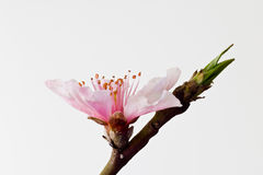 Peach blossom. First peach blossom is blooming Royalty Free Stock Photography