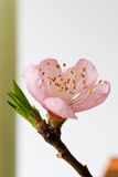 Peach blossom. First peach blossom is blooming Royalty Free Stock Photo