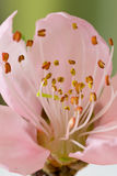 Peach blossom. First peach blossom is blooming Royalty Free Stock Photos