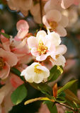 Peach blossom. Spring peach tree blossom in april Royalty Free Stock Photos