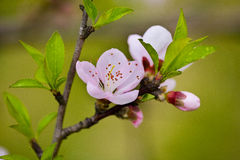 Peach blossom Royalty Free Stock Images