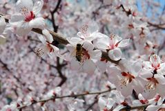 Peach Blossom. A peach blossom on spring in modern rooming house Dalian, China Royalty Free Stock Photo