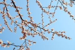 Peach Blossom. A peach blossom on spring in modern rooming house Dalian, China Royalty Free Stock Image
