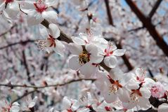 Peach Blossom. A peach blossom on spring in modern rooming house Dalian, China Royalty Free Stock Photos
