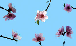 Peach blossom. Multiple peach flowers Royalty Free Stock Photos
