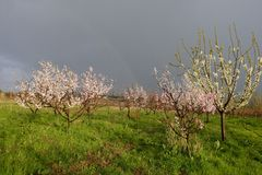 Peach blossom. In orchard stock photo
