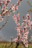 Peach blossom. In orchard royalty free stock photo