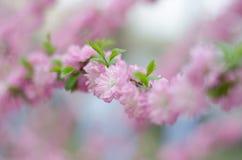 Free Peach Blossom Royalty Free Stock Photo - 69774335