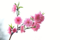 Peach blossom. A branch of peach blossom in spring royalty free stock photos