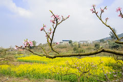 Peach blossom against rape flowers in sunny spring Stock Photos