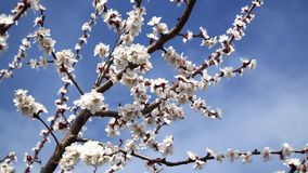 Peach blossom in April against the blue sky.  stock video