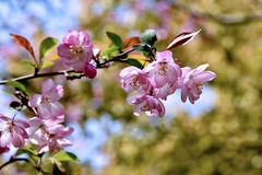 Peach blossom. Beautiful peach blossom in the spring Stock Images