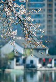 The peach blossom Stock Images