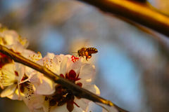 Peach blossom and a bee Royalty Free Stock Image
