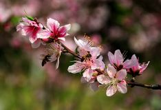 Peach blossom with bees Royalty Free Stock Photos