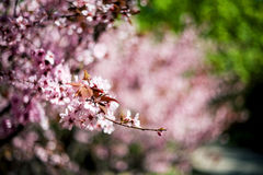 The peach blossom Stock Image