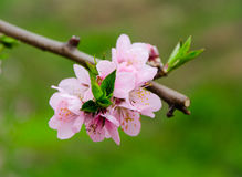 Peach blossom. Ing open Symbol of spring and life, the breath of spring more and more concentrated Stock Image