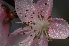 Peach blossom. S are open in March, in the early morning, crystal clear Royalty Free Stock Photo